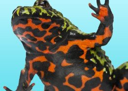 Fire-bellied-toad2